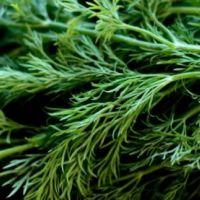 DERE OTU (Anethum graveolens)