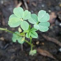 Üçgül (Trifolium)