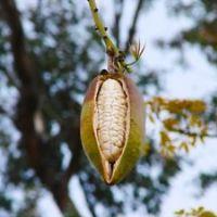Kapok (Ceiba pentandra)