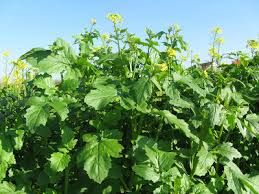 Yemlik Kolza (Brassica napus)