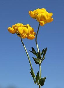 Gazel Boynuzu (Lotus Corniculatus)