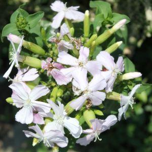 Çöven (Gypsophila)