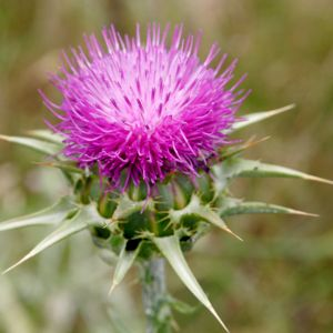 DEVEDİKENİ (Carlina marianum)