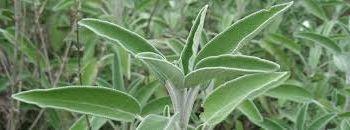 ADA ÇAYI (Salvia pratensis)