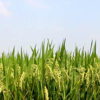 Pirinç(Oryza sativa)