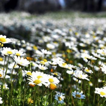 PAPATYA (Asteraceae)