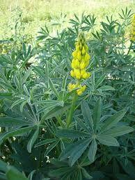 Sarı Acı Bakla (Lupinus Luteus)