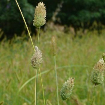 Kanarya Otu(Phalaris canariensis)