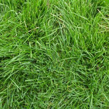 İngiliz çimi (Lolium Perenne)