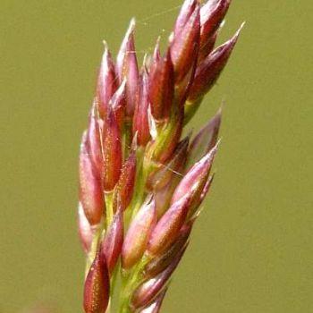 Narin Tavus Otu (Agrostis Capillaris)