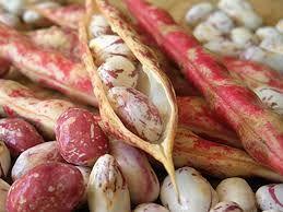 Barbunya (Phaseolus vulgaris)