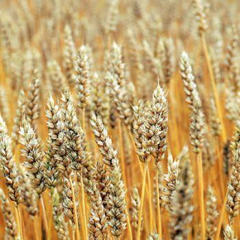 Çavdar (Secale cereale)
