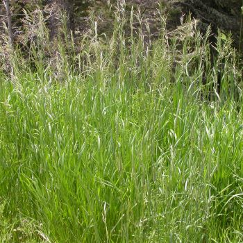 Kılçıksız Brom (Bromus  inermis)