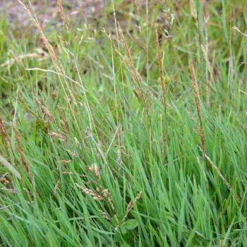 Stolonlu Tavus Otu (Agrostis Stolonifera)