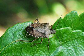 Fındık Ve Diğer Kültür Bitkileri Yetiştiriciliğinde Kapıdaki Tehdit: Kahverengi Kokarca