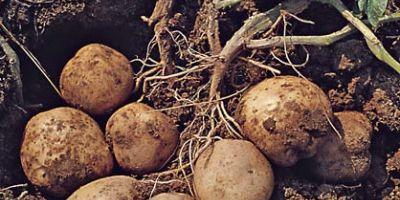 Ahlat'ta 170 Bin Ton Patates Üretiliyor