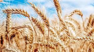 Altın ve dolardaki artış çiftçi için ne anlam ifade ediyor? Çiftçi buğday fiyatlarına sevinemedi!