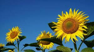 Ayçiçeği üretiminin devamı için üretici 6 lira fiyat bekliyor!Ayçiçeği üretiminin devamı için üretici 6 lira fiyat bekliyor!