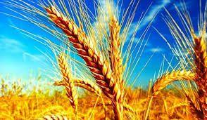 Buğday, arpa, mısır, çeltik, bakliyat ve hayvancılıkta ikinci analiz bülteni