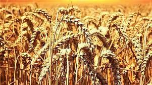 Buğday ve arpada neler oluyor? Satış fiyatlarını açıklayan TMO bir taraftan da yeni bir buğday ithalatına hazırlanıyor