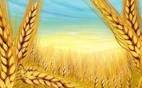 Dünyanın En Eski Buğdaylarından 'Sorgül'de 20 Tonluk Rekolte