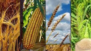Gübre fiyatları çiftçiyi arpa, buğday ve mısırdan uzaklaştırıyor!