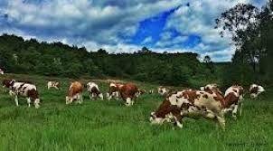 Hayvancılık Bankası için ilk adım atıldı Ziraat Bankası ile Merkez Birliği arasında ortak protokol