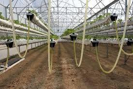 Hollanda ve İsrail'den sonra Türkiye'de bir ilk! Asansörlü sera sisteminde çilek üretimi