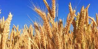 İthal buğday fiyatları altın gibi çift taraflı artıyor: 222 dolardan 257 dolara çıktı!