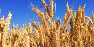 Makarna ihracatında yerli buğday sınırlaması 3 Eylül'e çekiliyor!