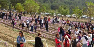 Safran Festivali'nde Katılımcılar Safran Hasadı Yaptı