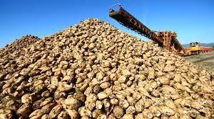 Şeker pancarında kampanyalar başladı fabrikalar alım yapıyor taban fiyat belli değil!