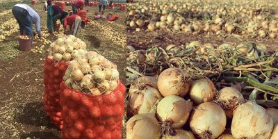 Soğan üreticisini bekleyen tehlike: İhracat teşvik edilmezse çiftçinin bütün emekleri boşa gidecek