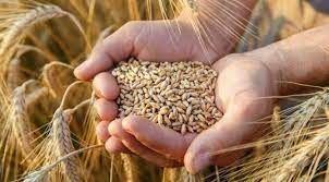 TMO arpa buğday ithalatında dolu dizgin!
