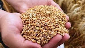 TMO'dan düşük fiyattan un satmayı taahhüt eden firmalara ucuz buğday!