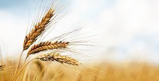 TMO ekmeklik buğday ithalatı için Ekim ayında ikinci ihaleyi yapacak