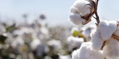 Türkiye'nin beyaz altını siyah altın oldu pamuk çiftçisi acilen destek bekliyor!