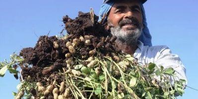 Yer Fıstığı Fiyatı Çiftçiyi Rahatlattı