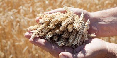 Yerli Tohum Üretiminde Rekor Artış